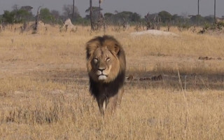 Cecil the lion in Hwange National Park. © Bryan Orford, YouTube