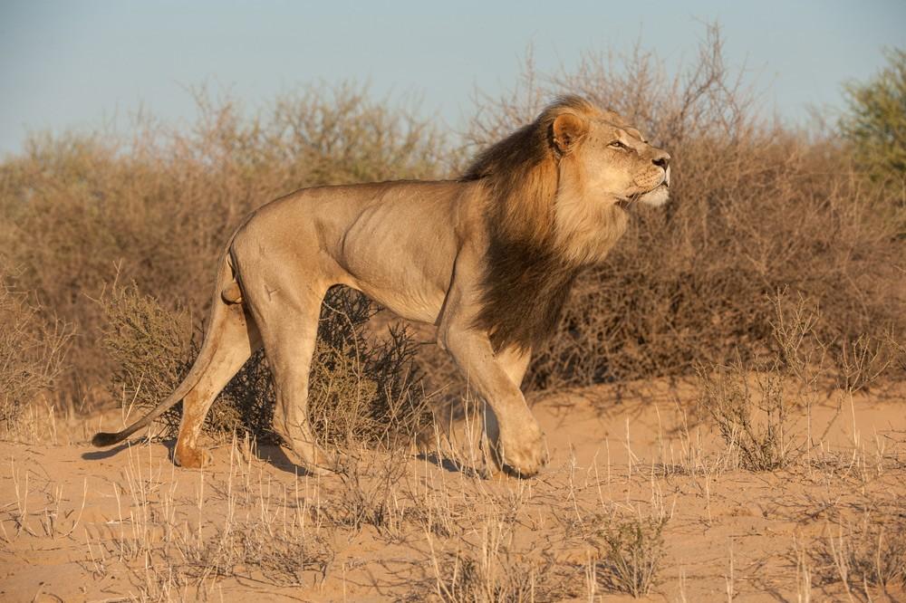 lion-corellte-wessels-kgalagadi