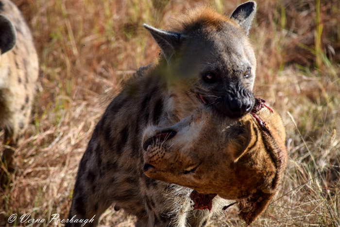 lion-head-hyena
