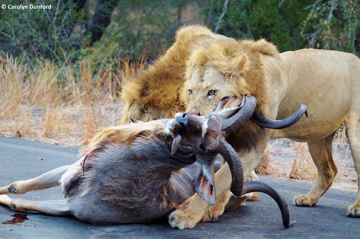lion-kill-kruger