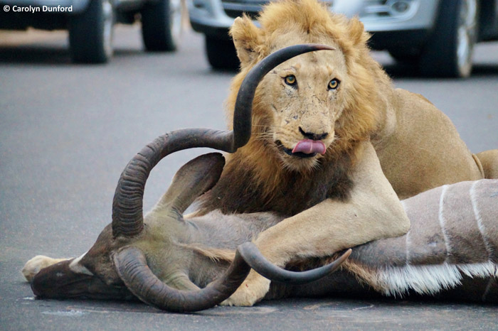 lion-kill-kudu-bull