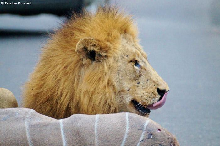 lion-kruger