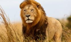 Lion shutterstock from News24