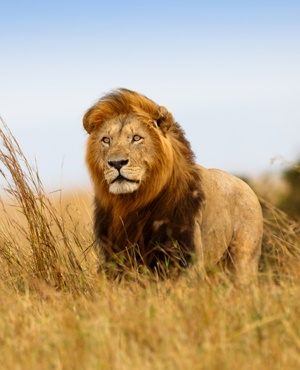 Lion shutterstock from News24