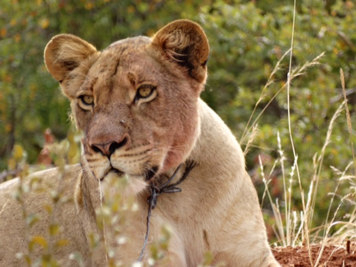 lioness-snare-kruger-national-park