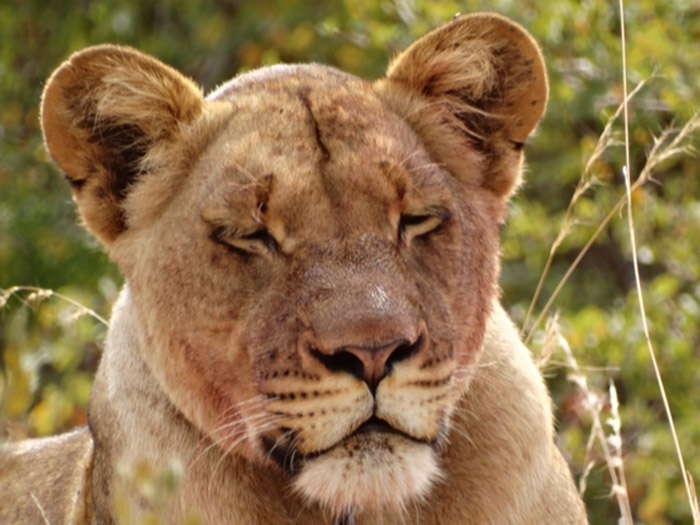 lioness-snare-necklace