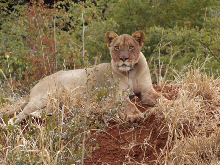 lioness-with-a-snare-kruger