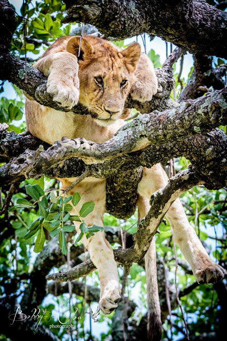 lions-sausage-tree-bobby-jo-clow-photography