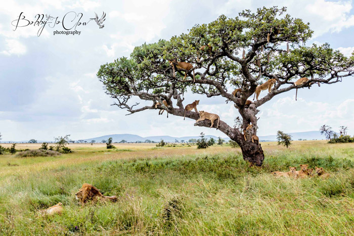 lions-tree-bobby-jo-clow-photography