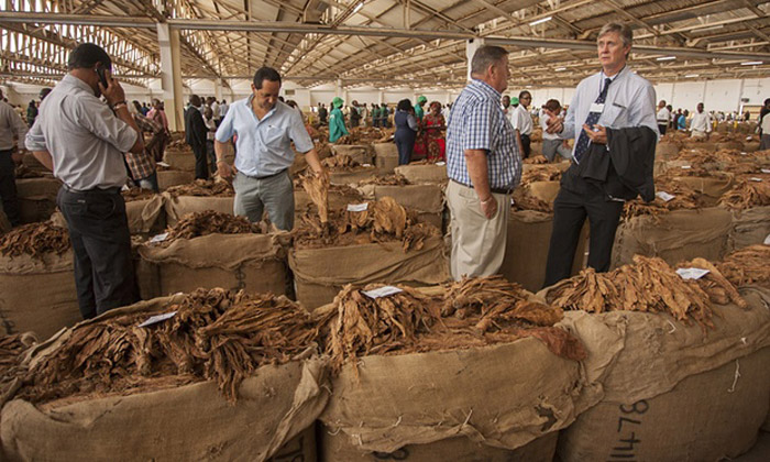 Buyers at a Malawi auction house inspect tobacco, a crop that takes up more than 5% of the country's farming land. © Amos Gumulira/AFP/Getty Images