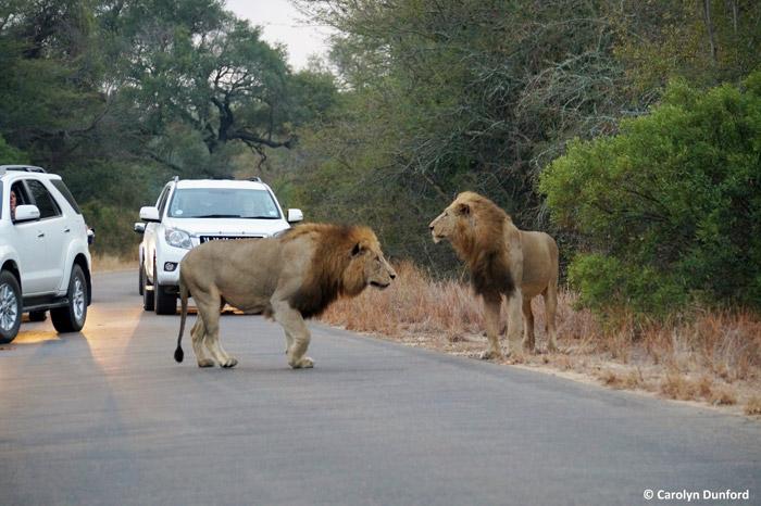 male-lions-kruger