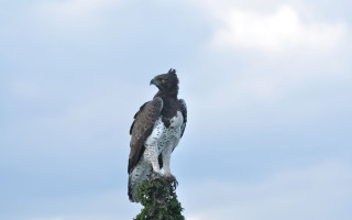 Natural Track Safaris martial eagle