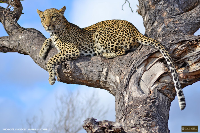 Marula doing what she does best - posing in the sweeping branches of a Marula tree. This is how she got her name.