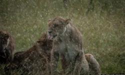 masai-mara-lions