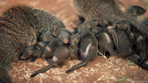female mongoose breed with males outside of their pack