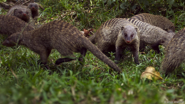 mongoose risk lives to breed
