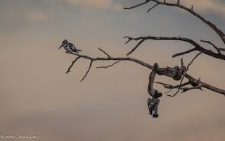 pied-kingfisher-tree