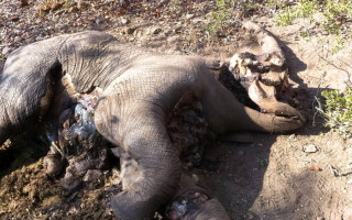 Elephant poached in Balule Nature Reserve, found on 23 July 2015.