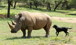 rhino-black-labrador-ants-collection