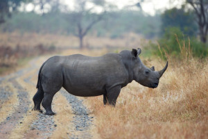 Conservation Action Trust rhino