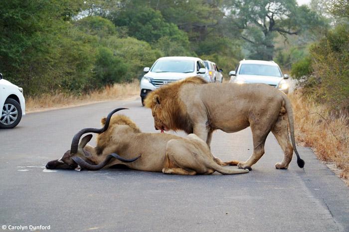 road-kill-kruger-traffic