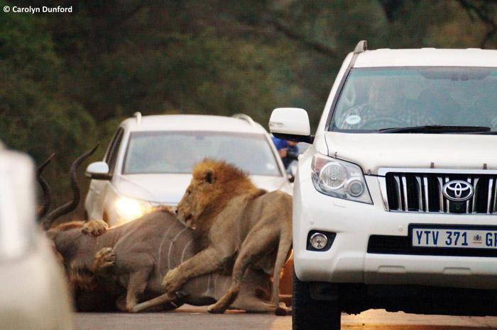 road-kill-kudu-kruger-sighting