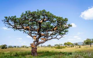 sausage-tree-bobby-jo-clow-photography-lions