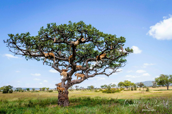 sausage-tree-bobby-jo-clow-photography-lions