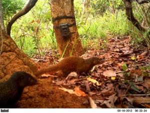 Pousargues's Mongoose