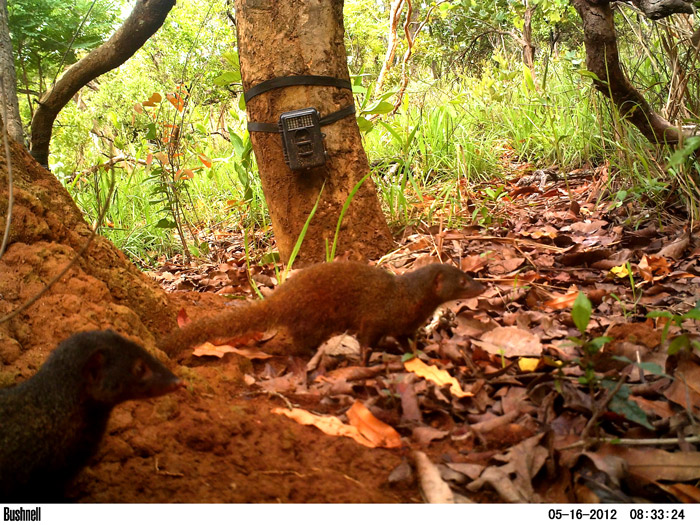 Pousargues's Mongoose