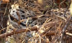 scotias-cub-leopard