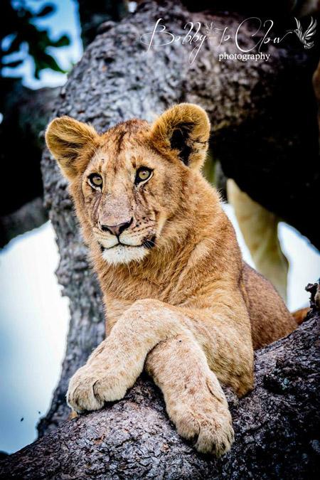 serengeti-bobby-jo-clow-photography-lioness