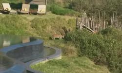 Serval in Gondwana Game Reserve