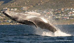 humpback whale Simon's Town