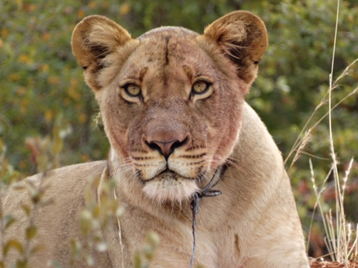 snare-poaching-lioness