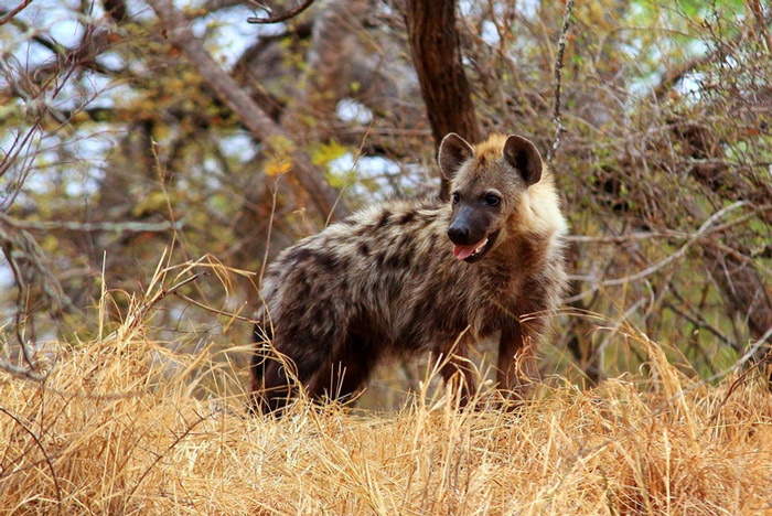 spotted-hyena