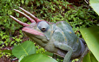 usambara-three-horned-chameleon
