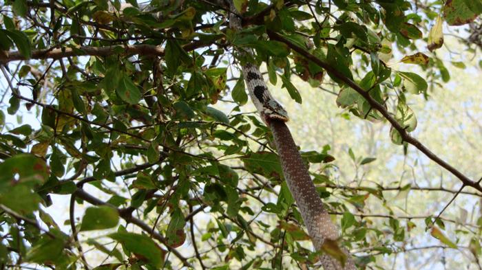 vine snake eating boomslang
