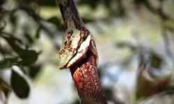 vine snake eats snake
