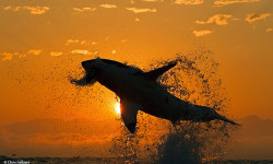 Chris Fallows has pioneered the photography and research of the flying Great White Sharks of False Bay near Cape Town.