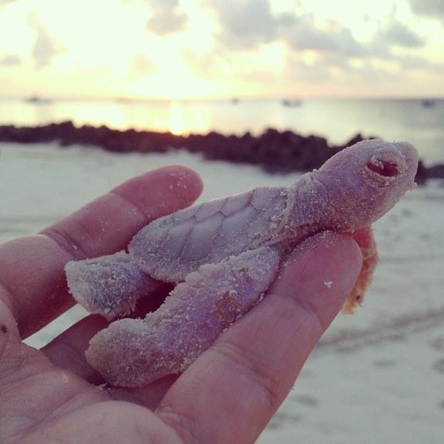 4 Rare Albino Green Sea Turtles Hatch In Mozambique