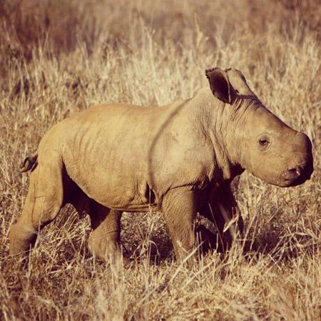 baby-rhino