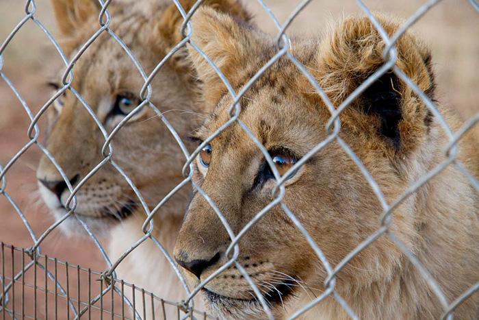 blood-lions-1