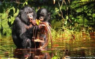 bonobo-peeps