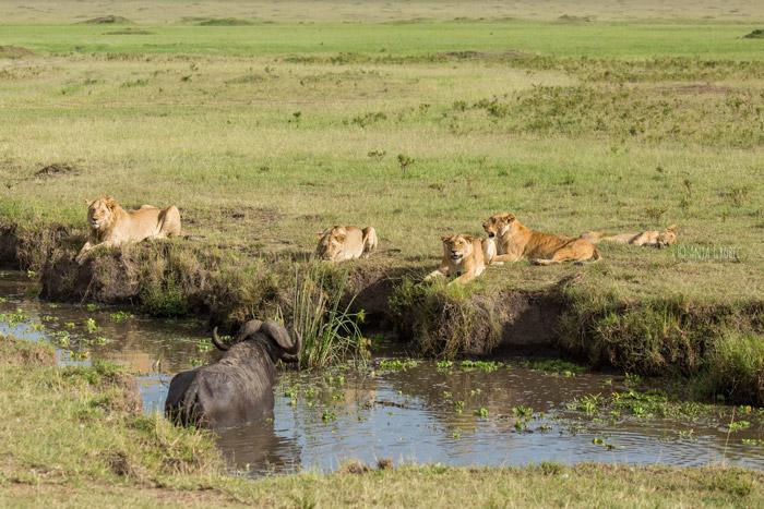 buffalo-crosses-river-to-lions