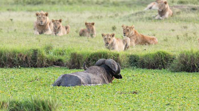 buffalo-heads-over-to-lions