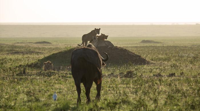 buffalo-heads-towards-lion-pride