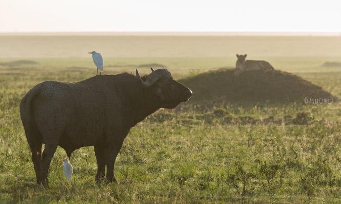 buffalo-in-mara