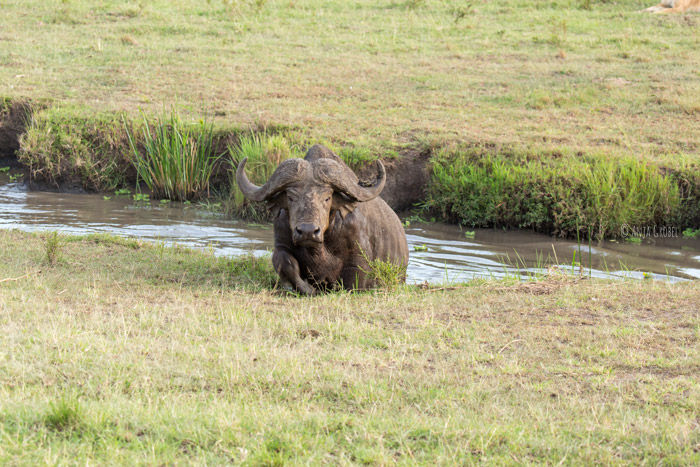 buffalo-in-water