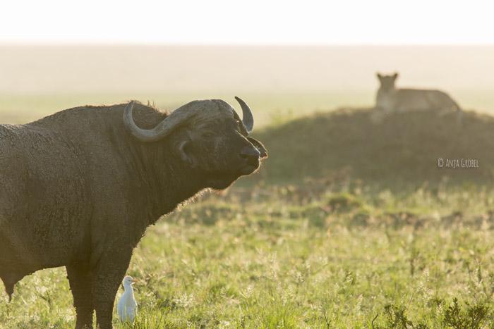 buffalo-looks-at-camera